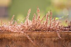La bruyère sèche dans l'extérieur de pot de fleurs s'est allumée avec des rayons du soleil d'or Image libre de droits