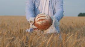 La buena cosecha, manos del granjero le da la barra de pan rubicunda en la servilleta blanca en campo de trigo cosechado del gran almacen de video