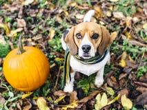 La bufanda rayada que lleva del perro del beagle que se sienta en las hojas caidas acerca a la calabaza Imagenes de archivo