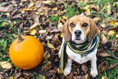 La bufanda rayada que lleva del perro del beagle que se sienta en las hojas caidas acerca a la calabaza Foto de archivo libre de regalías