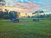 La Buffalo è in azienda agricola Fotografia Stock Libera da Diritti