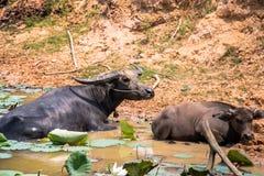 La Buffalo è macchina di vita dell'agricoltore al canale Immagine Stock Libera da Diritti