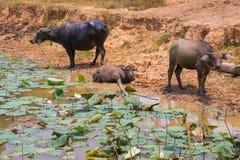 La Buffalo è macchina di vita dell'agricoltore al canale Fotografie Stock