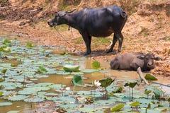 La Buffalo è macchina di vita dell'agricoltore al canale Immagine Stock