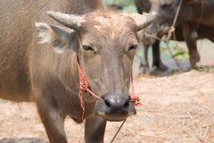 La Buffalo è macchina di vita dell'agricoltore al canale Fotografia Stock Libera da Diritti