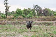 La Buffalo è un agricoltore dell'animale domestico Immagini Stock Libere da Diritti