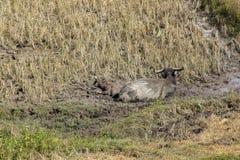 La Buffalo è in un campo asciutto fotografie stock