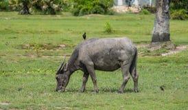 La Buffalo mangia l'erba verde Fotografia Stock Libera da Diritti