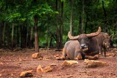 La Buffalo mette sul fango Fotografia Stock