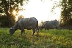 La Buffalo pasce Fotografie Stock