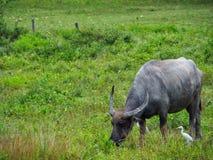 La Buffalo si alimenta il pascolo Fotografia Stock Libera da Diritti