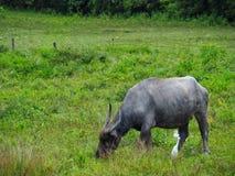 La Buffalo si alimenta il pascolo Immagini Stock Libere da Diritti