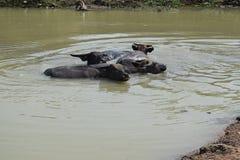 La Buffalo sta nuotando sullo stagno nella campagna del Vietnam Immagine Stock