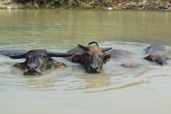 La Buffalo sta nuotando sullo stagno nella campagna del Vietnam Immagini Stock Libere da Diritti