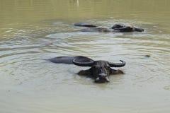 La Buffalo sta nuotando sullo stagno nella campagna del Vietnam Fotografie Stock Libere da Diritti