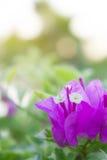 La buganvilla florece, las flores rosadas en el parque Fotos de archivo