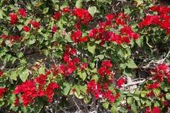 La buganvilla roja florece el marco completo Imagen de archivo libre de regalías