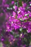 La buganvilla rosada florece el marco completo Imágenes de archivo libres de regalías