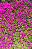 La buganvilla rosada florece el marco completo Imagen de archivo