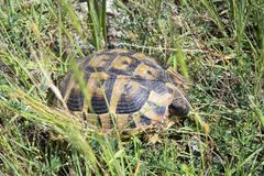 La Bulgarie, zoologie, tortue Photo stock