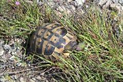 La Bulgarie, zoologie, tortue Photos stock