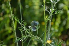 La burbuja depende de una planta al aire libre Imagen de archivo