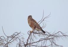 La buse commune dans le plumage d'hiver se repose sur un dessus d'arbre photographie stock