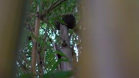 La cámara lenta de la ardilla de un Pallas lindo está comiendo la comida almacen de video
