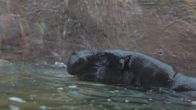 La cámara lenta de la boca abierta del hipopótamo enano, defiende un territorio dentro del agua almacen de video
