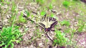 La cámara lenta de la mariposa blanca y amarilla que recoge el néctar de una flor y entonces vuela va lejos en fondo verde de las almacen de metraje de vídeo