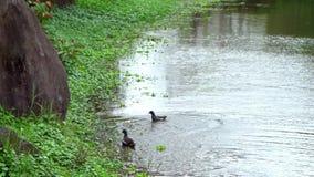 La cámara lenta de la polla de agua común es protectition los polluelos en la charca de agua almacen de metraje de vídeo