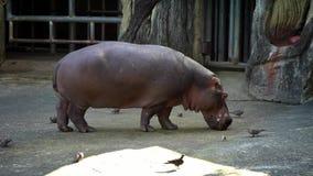 La cámara lenta de un hipopótamo común está comiendo en un parque zoológico El hipopótamo está alimentando almacen de metraje de vídeo