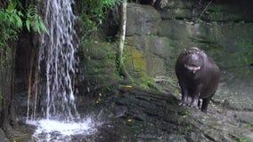 La cámara lenta del hipopótamo enano abre la boca, muestra de su agresividad zoo almacen de metraje de vídeo