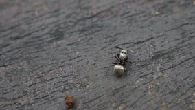 La cámara lenta macra de la hormiga negra grande está comiendo una oruga en salvaje del bosque almacen de video