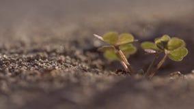 La cámara lenta macra tiró de una hormiga que salía de su colina almacen de metraje de vídeo