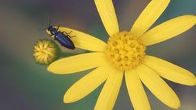 La cámara lenta, macro, pequeño escarabajo se arrastra en la flor amarilla metrajes