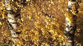 La cámara que vuela sobre abedul coloreado brillante ramifica tarde soleada del otoño metrajes