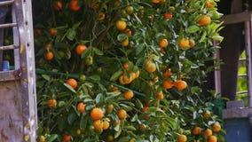 La cámara se mueve arriba y abajo de árbol de mandarina con las frutas almacen de metraje de vídeo