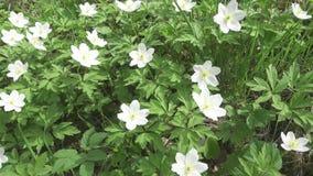 La cámara se mueve en el claro del bosque con los snowdrops blancos en la primavera temprana almacen de video