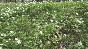 La cámara se mueve en el claro del bosque con los snowdrops blancos en la primavera temprana metrajes