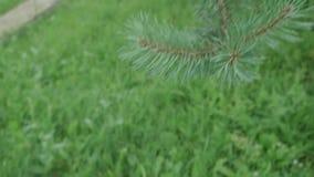 La cámara va abajo de ramas de árbol de abeto a la hierba verde almacen de video