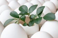 La cáscara de huevo vacía del pollo con verde se va entre los huevos blancos en bandeja de la cartulina Fotografía de archivo libre de regalías