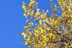 La caída colorea las hojas amarillas de oro del árbol de hoja caduca contra un brillante Foto de archivo