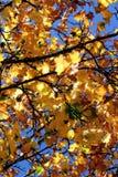 La caída colorea otoño amarillo de torneado del fondo del follaje y de los árboles de las hojas Imagen de archivo libre de regalías