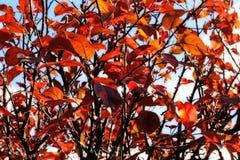 La caída colorea otoño rojo de torneado del fondo del follaje y de los árboles de las hojas Imagenes de archivo