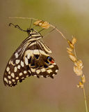 La caída de la mariposa un oot de Fotografía de archivo libre de regalías