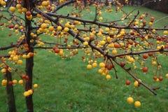 La caída del otoño deja el manzano Imagen de archivo