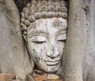 La cabeza antigua de Buda integrada en el árbol Imágenes de archivo libres de regalías