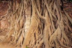 la cabeza de Buda popular en árbol Imagen de archivo