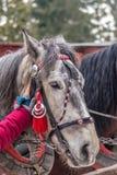 La cabeza de caballo gris en freno Imágenes de archivo libres de regalías